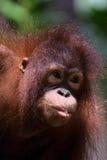 Orangutan face portrait. A young Orangutan face portrait taken in Sabah, Malysian Borneo Royalty Free Stock Image