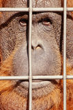 Orangutan face watching from behind steel bars Stock Images