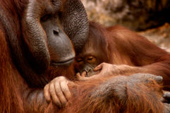Orangutan Family. A male orangutan hugs his son who is busy picking his nose. Focus is on the baby's face stock image