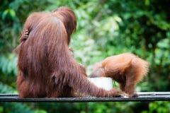 Orangutan family Royalty Free Stock Images