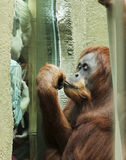 An Orangutan Fascinates a Pair of Boys Royalty Free Stock Images