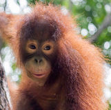 Orangutan Feeding Time #4 Stock Images