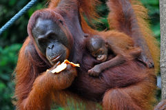 Orangutan Female with Baby Stock Photo