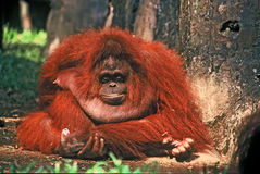 Orangutan female Royalty Free Stock Images