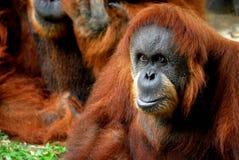 Orangutan focused. An orangutan focused.  This image was taken at the national zoo in kl Royalty Free Stock Photos