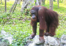 Orangutan in forest Royalty Free Stock Photos