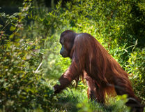 Orangutan in the forest Stock Photo