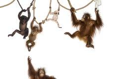 Orangutan giovane Fotografia Stock Libera da Diritti