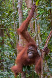 Orangutan grabbed her long limbs wood, and his brown eyes look r Stock Images
