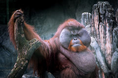 Orangutan grasso Immagine Stock
