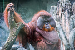 Orangutan grasso Fotografie Stock Libere da Diritti