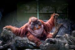 Orangutan grasso Fotografia Stock