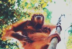 Orangutan Grownup με ένα μωρό στοκ εικόνα με δικαίωμα ελεύθερης χρήσης