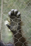 Orangutan Hand Stock Photography