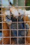 Orangutan hand. Orangutan Latin name Pongo pygmaeus holding a cage bars Royalty Free Stock Photography