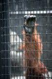 Orangutan hand on a cage cell Royalty Free Stock Photos