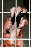 Orangutan hand close-up Stock Image