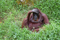 Orangutan  With Hand On The Forehead Stock Photos