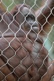 Orangutan Hanging on Chain Links Royalty Free Stock Image