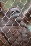 Orangutan Hanging on Chain Links Smiling Royalty Free Stock Photography