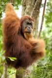 Orangutan hanging on liana Royalty Free Stock Photography