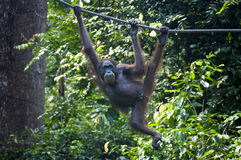 Orangutan hangs from Rope Stock Photo