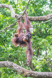 Orangutan hanging from the tree branch Royalty Free Stock Images