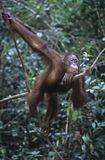 Orangutan hanging in trees Royalty Free Stock Photo