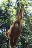 Orangutan hanging in trees Royalty Free Stock Images