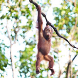 Orangutan hanging on vine Royalty Free Stock Image
