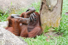 Orangutan having laugh. Picture taken in the Singapore Zoo Royalty Free Stock Image