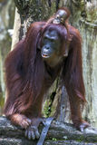 An orangutan with her baby at the Singapore Zoo. Stock Photo