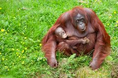 Orangutan with her cute baby. Mother orangutan with her cute baby in the grass Stock Image