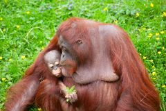 Orangutan with her cute baby. Mother orangutan kisses her cute baby in the grass Stock Photography