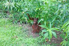 Orangutan hiding in the undergrowth Royalty Free Stock Photography