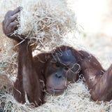 Orangutan hiding under hay Stock Photos