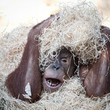 Orangutan hiding under hay Stock Images