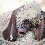 Orangutan hiding under hay Stock Images