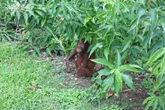 Orangutan hiding in the undergrowth Royalty Free Stock Image