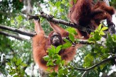 Orangutan i dziecka Orangutan Zdjęcia Royalty Free