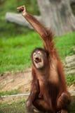 Orangutan i en malaysisk zoo royaltyfria foton