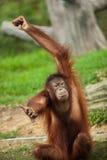 Orangutan i en malaysisk zoo royaltyfri fotografi