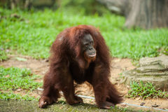 Orangutan i en malaysisk zoo Arkivbild