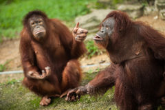 Orangutan i en malaysisk zoo royaltyfri bild