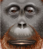 An orangutan Royalty Free Stock Photo