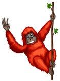 Orangutan Stock Photography