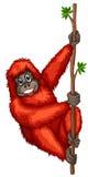 Orangutan Royalty Free Stock Images