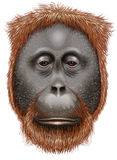An orangutan Royalty Free Stock Images