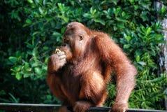 Free Orangutan In Borneo, Malaysia Stock Photo - 98519140