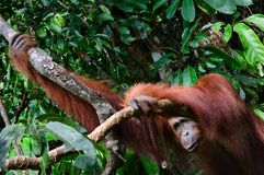 The orangutan from jungle. royalty free stock image